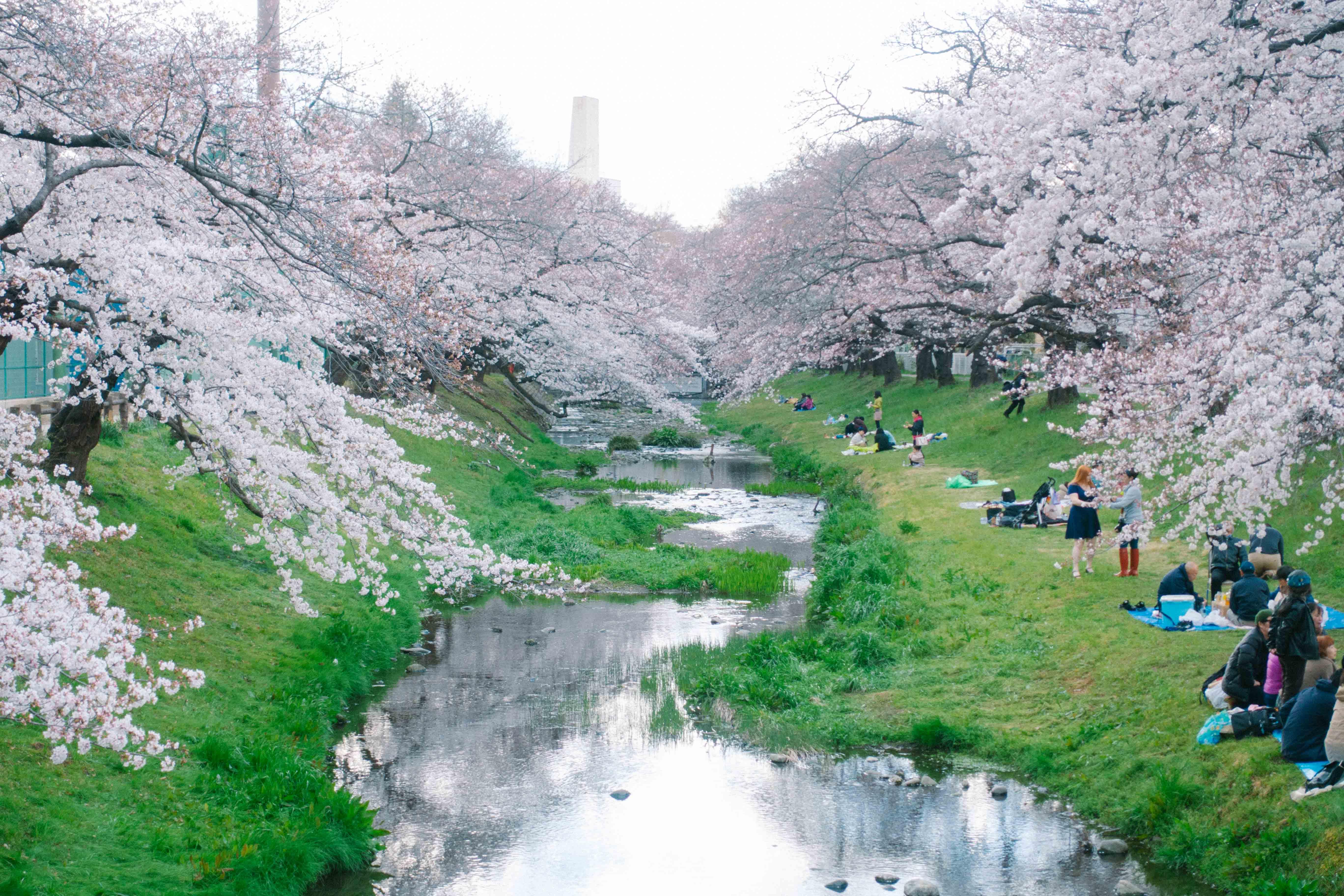 立川根川緑道の桜