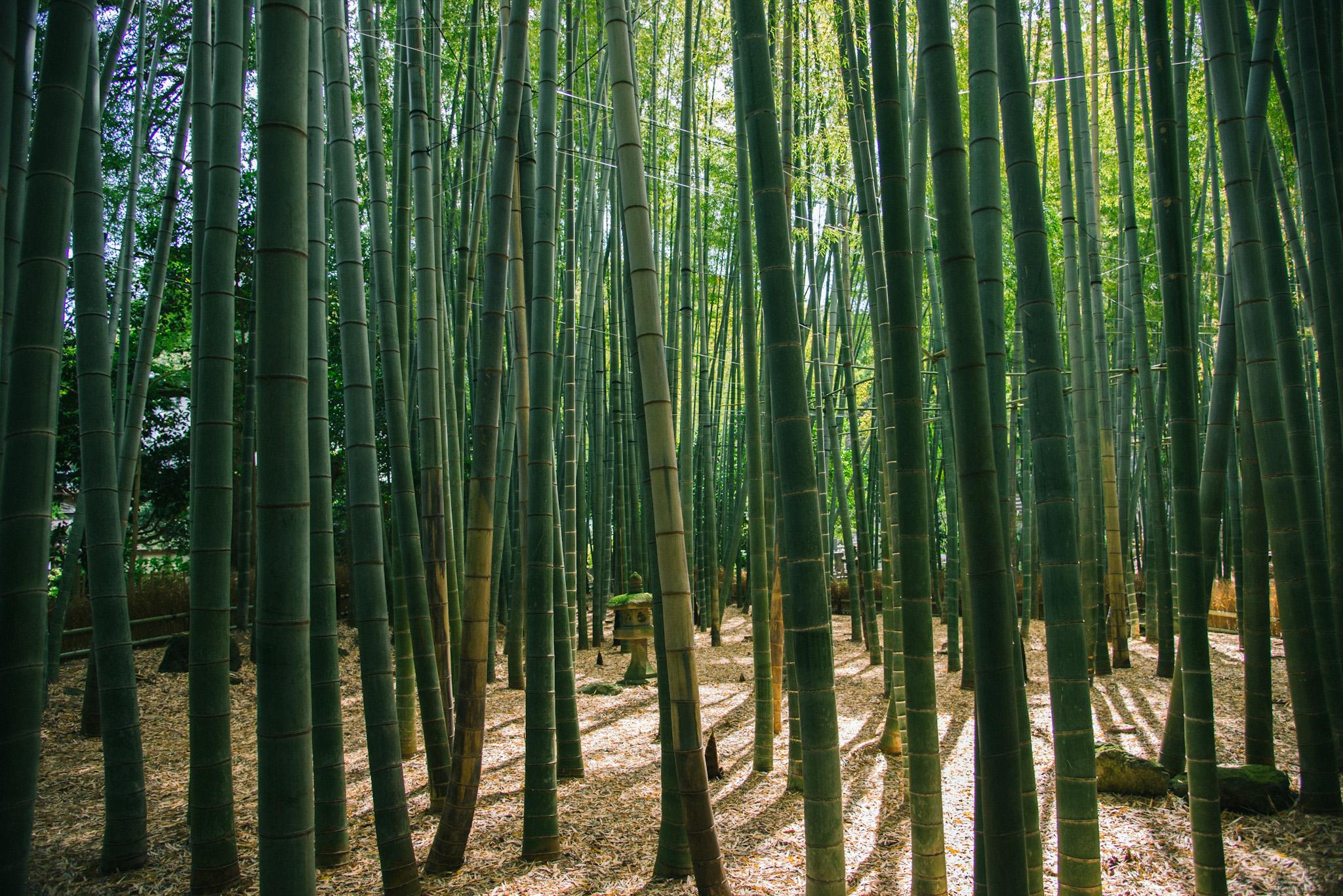 報国寺竹の庭竹林